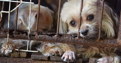 Hsus Releases List Of  Problem Puppy Mills In The U S Dogtime