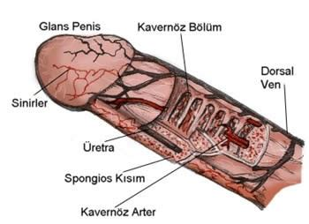 penis erkek anatomisi erkek genital bölge genital sigil hpv