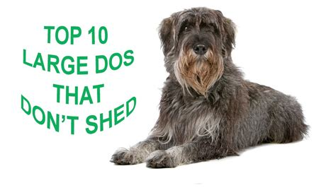 breeds that don t shed a lot breeds with pictures and price top 10 large