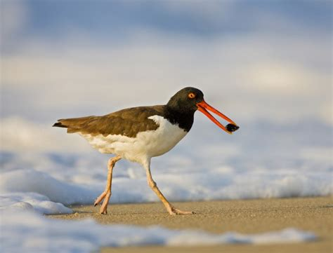 american oystercatcher 171 conserve wildlife foundation of