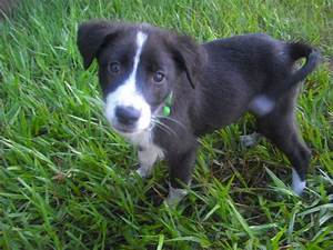 Fiddle the Border Collie Puppy ~ Adopted | The Dog Liberator™