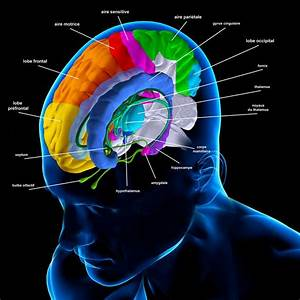 Meninges  Function And Layers  And Health Problems