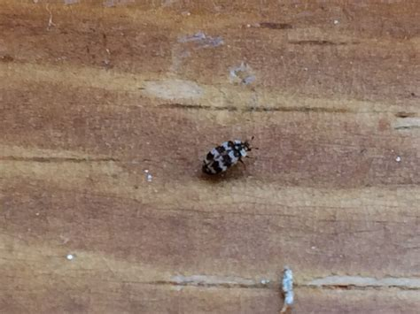 black bugs on window sill identify bugs ask an expert