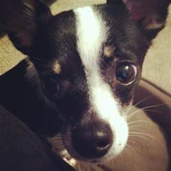 Rat Terrier Chihuahua Mix