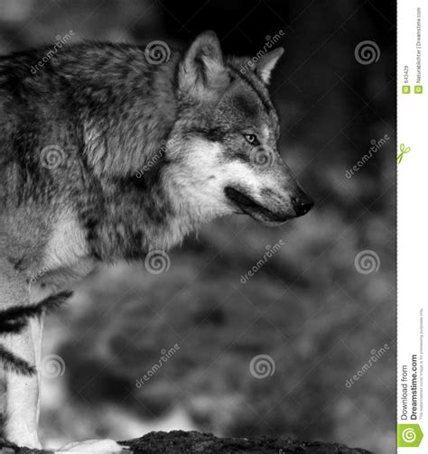 Black And White Wolf Wallpaper by 44 Black And White Wolf Wallpaper On Wallpapersafari