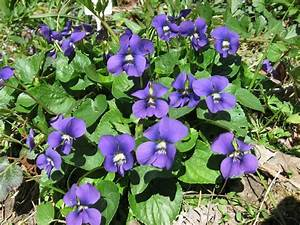 Common Blue Violet Claytonvnps.org   A Bouquet of Flowers ...
