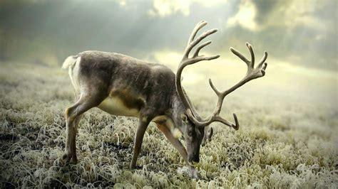Reindeer Wallpaper Hd by Reindeer Wallpaper Wallpapersafari