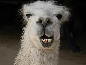 Image - Smiling-llama-header.jpg | Austin & Ally Wiki ...