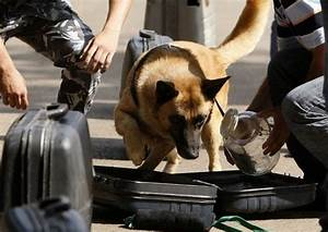 What are the dogs at airports trained to sniff for? - Quora