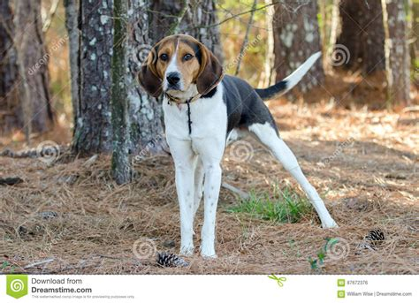 walker coonhound dog treeing tennessee hound coon hunting animal county shelter walton preview