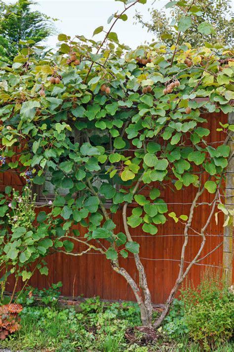 Kiwi Pflanzen, Pflegen, Ernten  Mein Schöner Garten