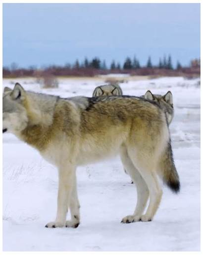 Pack Wolf Scary Wolves Dogs Wildlife Nature