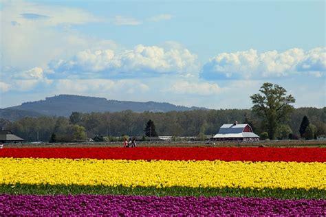 tiptoe through the tulips in washington s skagit tiptoe through the tulips of washington s skagit valley