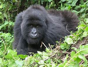 8 best images about Cross River Gorilla, Highland ...