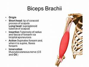 Biceps Brachii Origin And Insertion