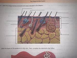 34 Integumentary System Diagram To Label