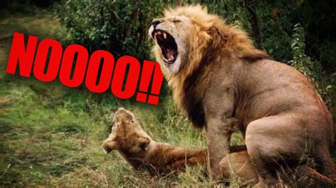 African Lion Extinct By 2050? ? YouTube