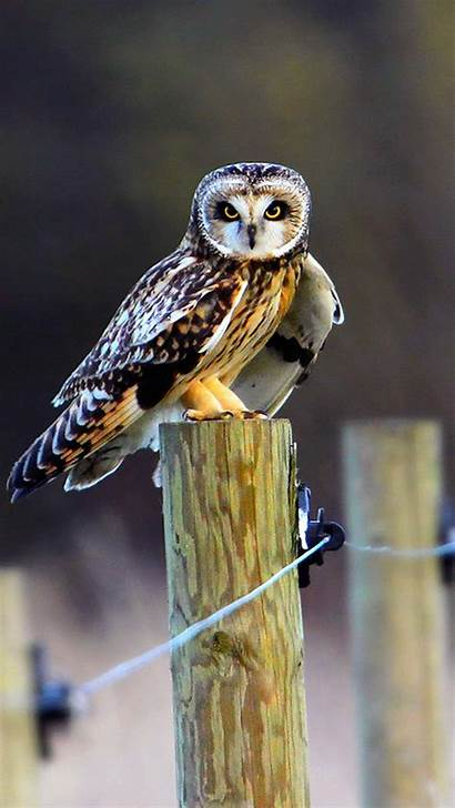 Bird Bokeh Owl Telefon Marrow Tapety Sowa