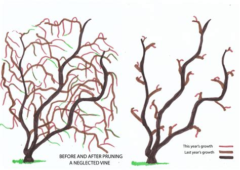 how to prune grape vines winter pruning of vines from infancy to the fourth year urban wine grower