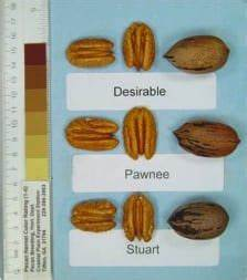 Pecan Size Chart Pawnee Pecan Trees Highest Quality Pecan Trees For Sale