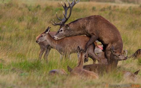 danny ewers photography red deer mating  richmond park