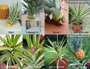 Indoor Grow Anleitung : ananas selbst ziehen planten pinterest plants garden and pineapple planting ~ Eleganceandgraceweddings.com Haus und Dekorationen