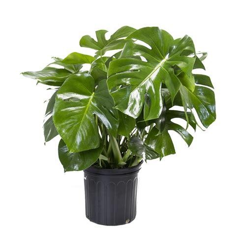 lowes garden plants shop livetrends split leaf philodendron pot ltl49 at