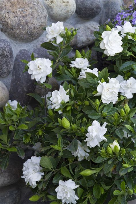 Top 10 Of The Most Fragrant Flowers In The World Top