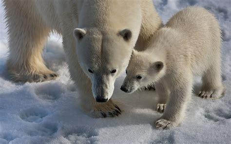 was fressen waschbären die 80 besten hintergrundbilder der sch 246 nen tiere f 252 r desktop