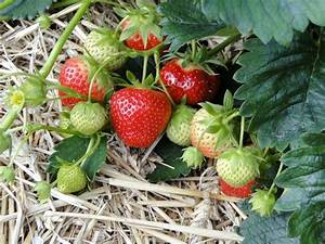 The Wonders Of How Do Strawberries Reproduce  2 Methods Of