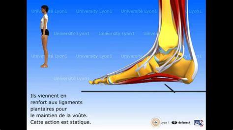 le a pied le pied organisation et fonctions musculaires