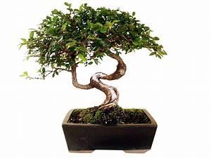 Bonsai Chinesische Ulme : chinesische ulme ul 1 genki bonsai ~ Sanjose-hotels-ca.com Haus und Dekorationen