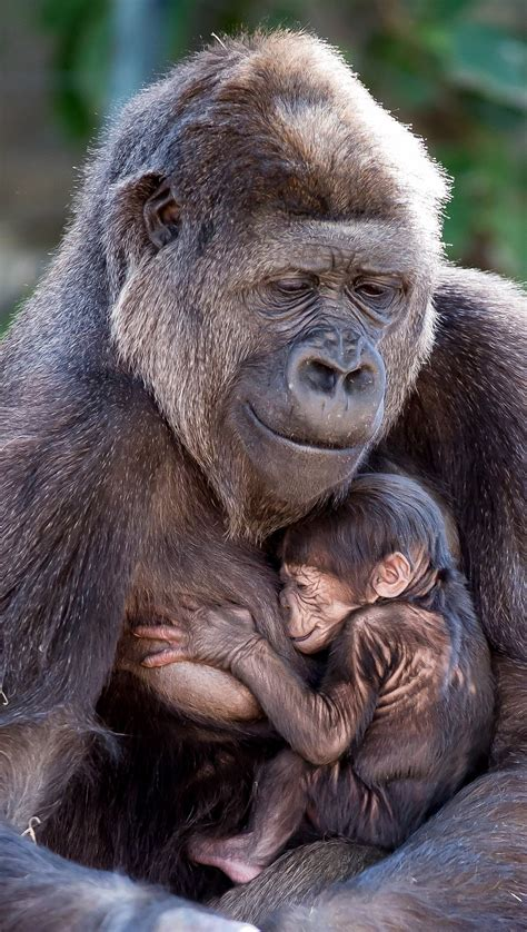 Taronga Zoo gorilla gives birth to adorable baby in Sydney ...