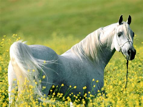 horse horses arabian animals stallion animal pony related horese stallions does running riding