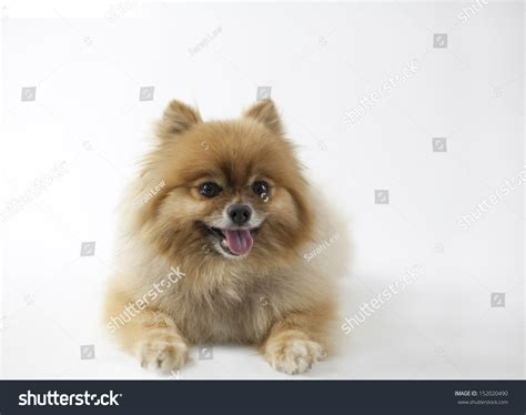Smiling Pomeranian Looking At Camera Isolated Picture On ...