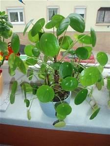 Pilea Pflanze Kaufen : name dieser pflanze kanonierblume pilea peperomioides ~ Michelbontemps.com Haus und Dekorationen