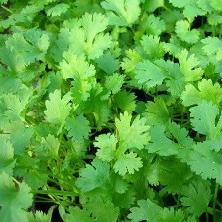 recettes cuisine chinoise coriandre coriandrum sativum arom 39 antique 450