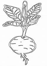 Beet Coloring Pages sketch template