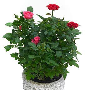 entretien rosier en pot conseils pour les petits rosiers en pot le pouvoir des fleurs