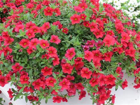 calibrachoa hybrida million bells trailing red lucas