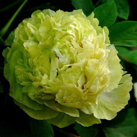 Lv Mu Ying Yu Green Special Garden Chinese Peony Plant ...