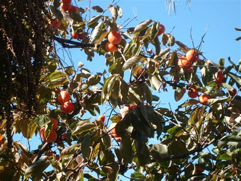 The Fruit Salad Tree? Bellareflections