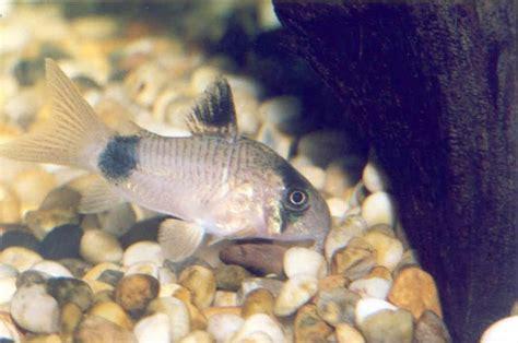 aquarium eau douce poisson de fond