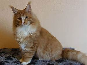 Red Tabby & White Neutered male Maine Coon | Llanarth ...
