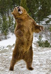 grizzly bear standing - Buscar con Google | Tattoos ...