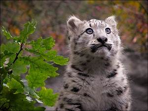 Baby snow leopard by woxys on DeviantArt