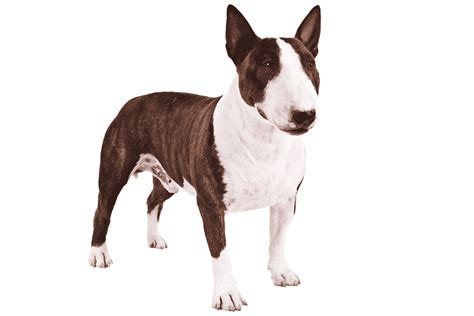 bull terrier breed information facts pictures
