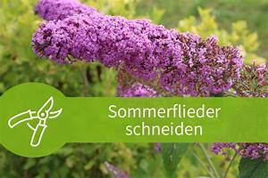 Eibe Schneiden Beste Zeit : sommerflieder schneiden 1 anleitung mit 3 schnitten ~ Frokenaadalensverden.com Haus und Dekorationen