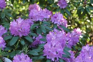 Rhododendron Blüht Nicht : rhododendron standort und pflege ~ Frokenaadalensverden.com Haus und Dekorationen