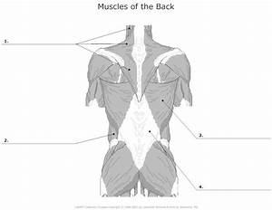 Muscles Of The Back Unlabeled